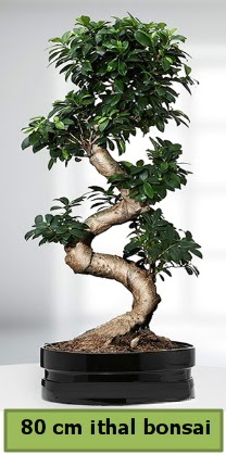 80 cm özel saksıda bonsai bitkisi  Amasya çiçekçi telefonları