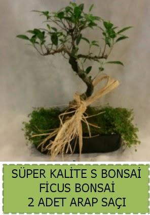 Ficus S Bonsai ve arap saçı  Amasya çiçekçi telefonları