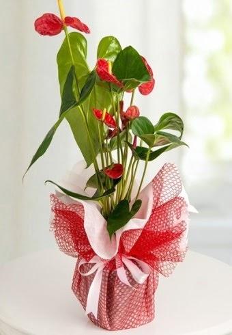 Anthurium Saksı Çiçeği  Amasya hediye çiçek yolla