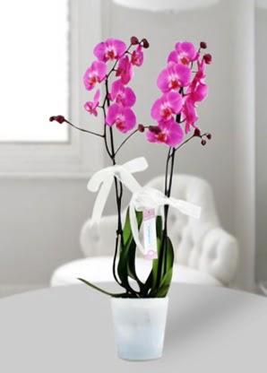 Çift dallı mor orkide  Amasya çiçekçiler