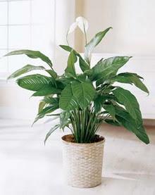 Amasya online çiçek gönderme sipariş  spatilyum ithal büyük boy