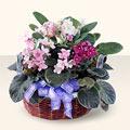 Amasya çiçek gönderme sitemiz güvenlidir  4 adet afrika meneksesi