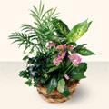 Amasya çiçek satışı  5 adet canli çiçek sepette