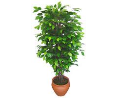 Ficus Benjamin 1,50 cm   Amasya anneler günü çiçek yolla