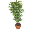 Ficus özel Starlight 1,75 cm   Amasya cicek , cicekci