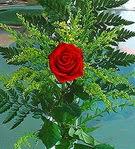 1 adet kirmizi gül buketi   Amasya çiçek siparişi vermek