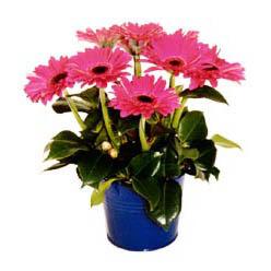 vazo içerisinde gerbera çiçekleri   Amasya online çiçek gönderme sipariş