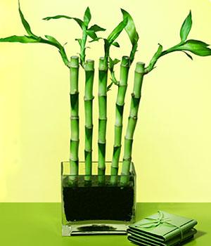 Amasya anneler günü çiçek yolla  Good Harmony Lucky Bamboo camda