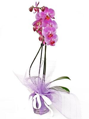 Amasya anneler günü çiçek yolla  Kaliteli ithal saksida orkide