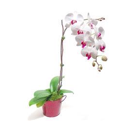 Amasya çiçek gönderme  Saksida orkide