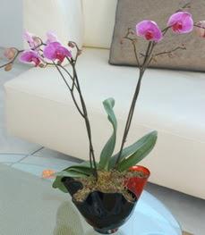 Amasya çiçekçi mağazası  tek dal ikili orkide saksi çiçegi