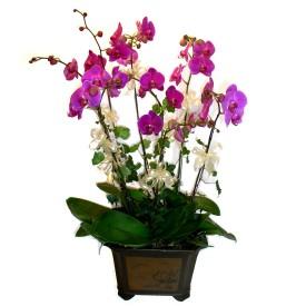 Amasya cicek , cicekci  4 adet orkide çiçegi
