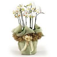 Amasya çiçek siparişi sitesi  3 dal orkide , saksi çiçegi , 3 kök orkide