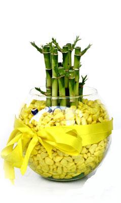 cam fanus içerisinde bambo  Amasya internetten çiçek satışı