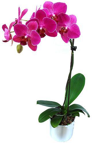 Amasya çiçekçi mağazası  saksi orkide çiçegi