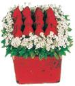 Amasya çiçek gönderme  Kare cam yada mika içinde kirmizi güller - anneler günü seçimi özel çiçek