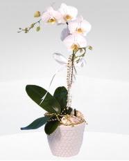 1 dallı orkide saksı çiçeği  Amasya online çiçekçi , çiçek siparişi