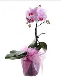 1 dal pembe orkide saksı çiçeği  Amasya kaliteli taze ve ucuz çiçekler