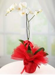 1 dal beyaz orkide saksı çiçeği  Amasya yurtiçi ve yurtdışı çiçek siparişi