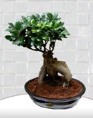 saksı çiçeği japon ağacı bonsai  Amasya kaliteli taze ve ucuz çiçekler