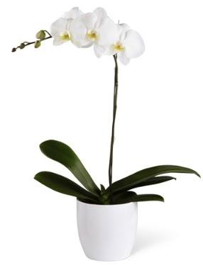 1 dallı beyaz orkide  Amasya 14 şubat sevgililer günü çiçek
