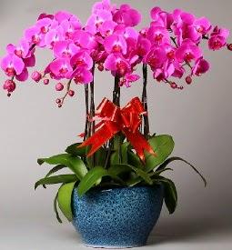 7 dallı mor orkide  Amasya çiçek online çiçek siparişi