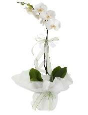 1 dal beyaz orkide çiçeği  Amasya çiçek siparişi vermek
