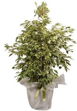 Orta boy alaca benjamin bitkisi  Amasya internetten çiçek satışı