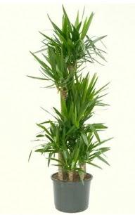 7 li yucca saksı bitkisi  Amasya çiçek servisi , çiçekçi adresleri