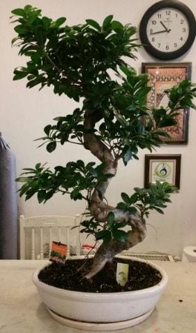 100 cm yüksekliğinde dev bonsai japon ağacı  Amasya İnternetten çiçek siparişi