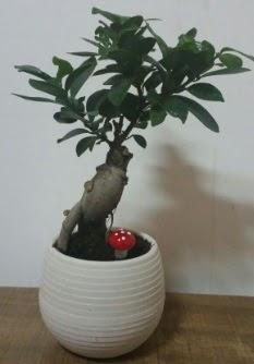Bonsai japon ağacı saksı çiçeği  Amasya çiçek gönderme sitemiz güvenlidir