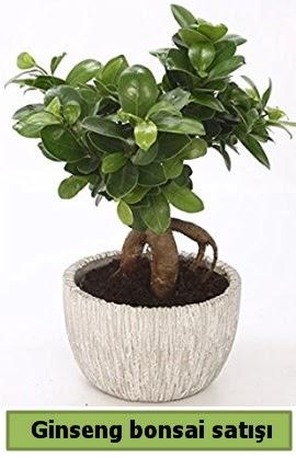 Ginseng bonsai japon ağacı satışı  Amasya çiçekçi telefonları
