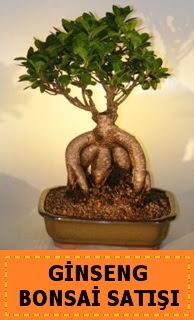 Ginseng bonsai satışı japon ağacı  Amasya cicek , cicekci