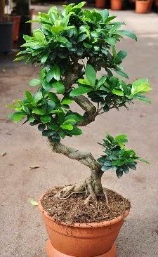 Orta boy bonsai saksı bitkisi  Amasya internetten çiçek siparişi