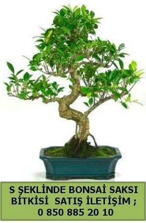 İthal S şeklinde dal eğriliği bonsai satışı  Amasya çiçek gönderme