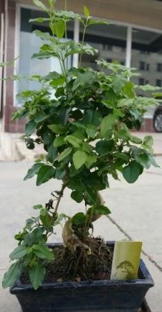 Bonsai japon ağacı saksı bitkisi  Amasya çiçek siparişi vermek