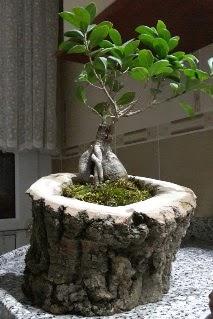 Ahşap kütük içerisinde ginseng bonsai  Amasya internetten çiçek siparişi