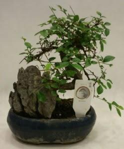 İthal 1.ci kalite bonsai japon ağacı  Amasya çiçek satışı