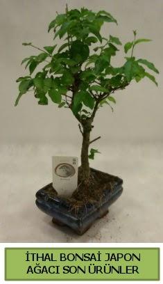 İthal bonsai japon ağacı bitkisi  Amasya hediye sevgilime hediye çiçek
