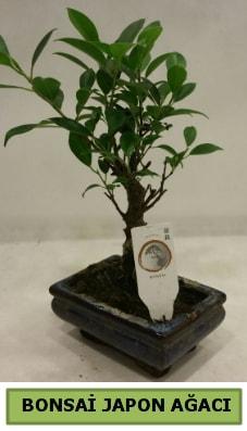 Bonsai japon ağacı saksı bitkisi  Amasya çiçek servisi , çiçekçi adresleri