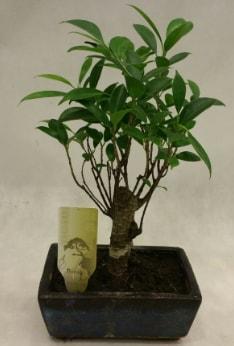 Japon ağacı bonsai bitkisi satışı  Amasya çiçekçi telefonları