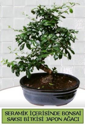 Seramik vazoda bonsai japon ağacı bitkisi  Amasya çiçek siparişi sitesi