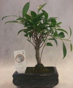 Bonsai japon ağacı bitkisi satışı  Amasya çiçek gönderme sitemiz güvenlidir