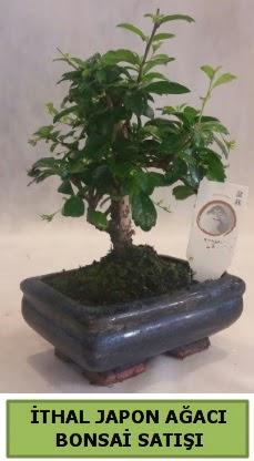 İthal japon ağacı bonsai bitkisi satışı  Amasya çiçekçi telefonları