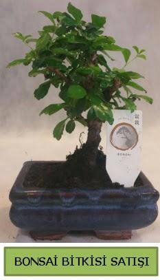 Bonsai ithal görsel minyatür japon ağacı  Amasya ucuz çiçek gönder