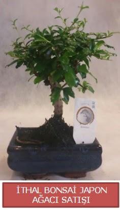 İthal küçük boy minyatür bonsai ağaç bitkisi  Amasya çiçekçi telefonları