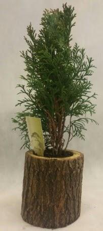 SINIRLI STOK Selvi Bonsai Doğal kütükte  Amasya İnternetten çiçek siparişi