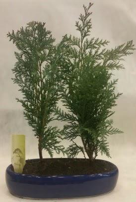 SINIRLI SAYIDA Selvi Ağacı bonsai ikili  Amasya çiçekçi telefonları
