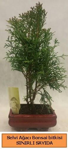 Selvi ağacı bonsai japon ağacı bitkisi  Amasya çiçek satışı