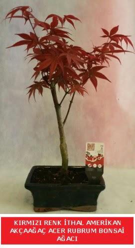 İTHAL ACER RUBRUM BONSAİ AĞACI  Amasya çiçek gönderme sitemiz güvenlidir